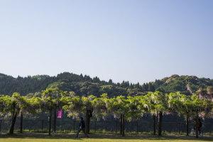和気公園の藤棚