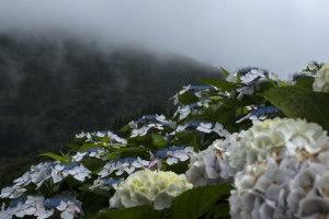 紫陽花と山霧