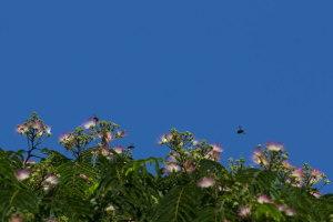 合歓とクマン蜂