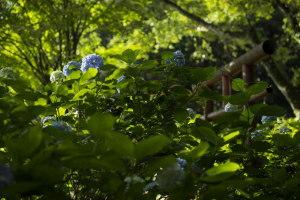 鳥居と紫陽花
