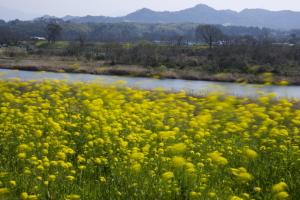 緑川沿いの菜の花