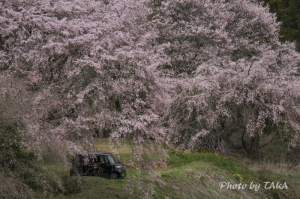しだれ桜とエヌボくん