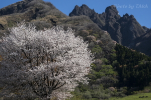 鍋ヶ平の桜