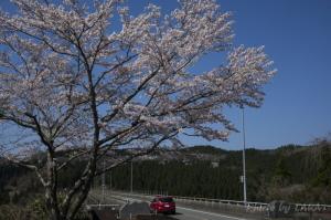奥阿蘇大橋の桜