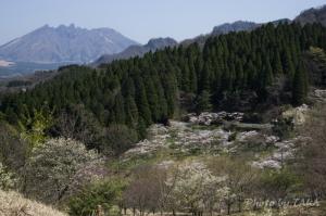 高森峠の千本桜